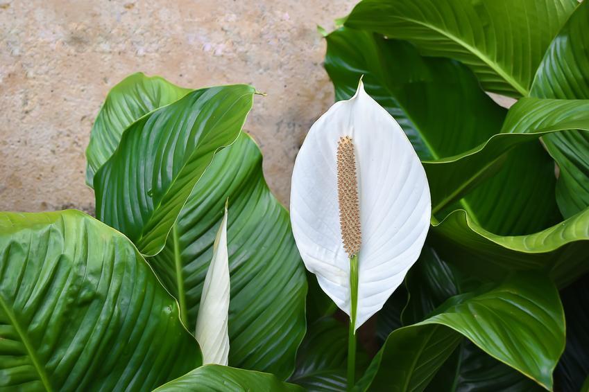 Skrzydłokwiat w czasie kwitnienia w domu, a także jaka jest cena skrzydłowiatu