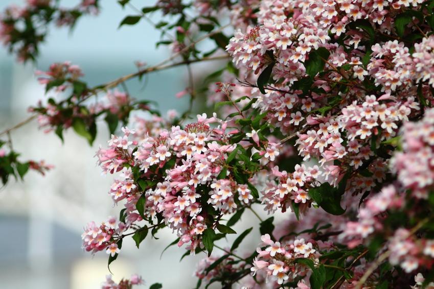 Kolkwicja chińska w czasie kwitnienia na tle nieba, a także jej uprawa i pielęgnacja