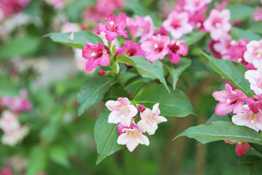 Kolkwicja chińska w czasie kwitnienia w ogrodzie, a także jej uprawa i pielęgnacja