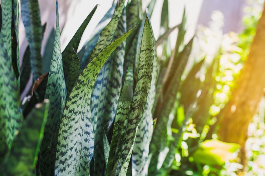Kwiat sansevieria w pełnym słońcu, a także podlewanie i uprawa sansewierii