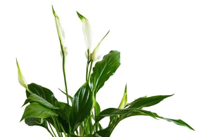 Skrzydłokwiat na białym tle, a także przesadzanie skrzydłokwiatu i jego rozmnażanie w domu