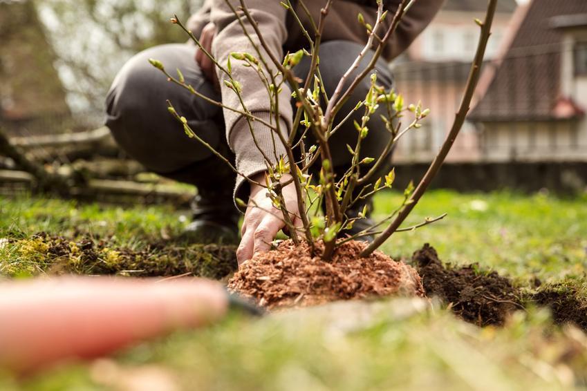 Sadzenie borówki amerykańskiej w ogrodzie, a także rozmnażanie borówki amerykańskiej