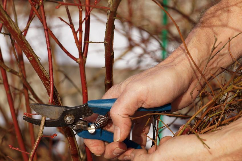 Przycinanie borówki sekatorem w ogrodzie, a także cięcie borówki amerykańskiej