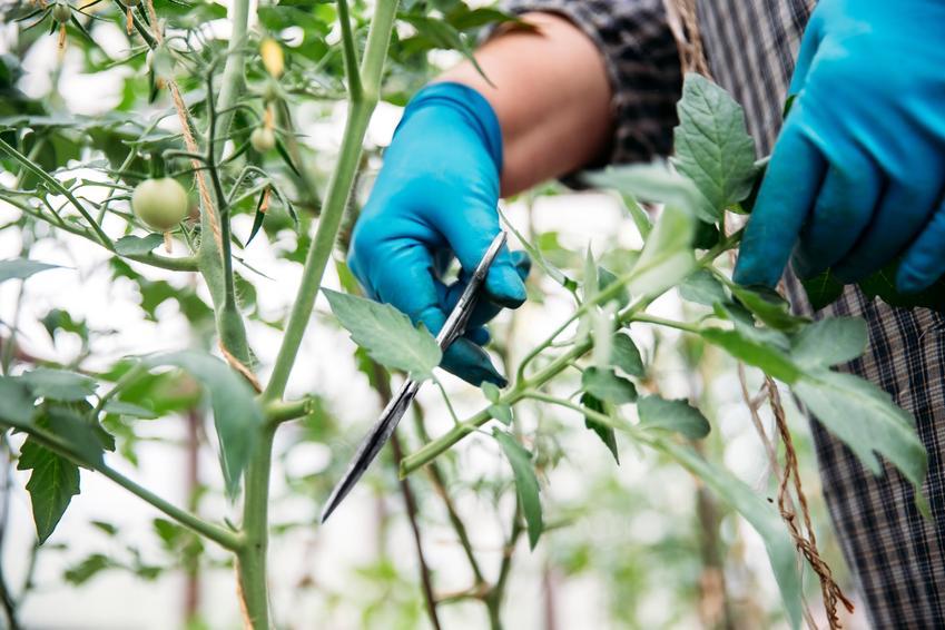 Obrywanie liści pomidorów w ogrodzie, a także porady, jak obrywać pomidory