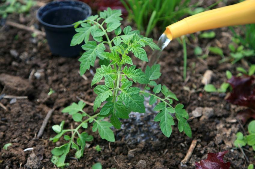 Pomidory polewane wodą, czyli podlewanie pomidorów i jak często podlewać pomidory