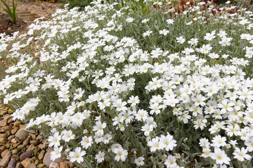 Roślina rogownica kutnerowata w czasie kwitnienia, a także odmiany i uprawa