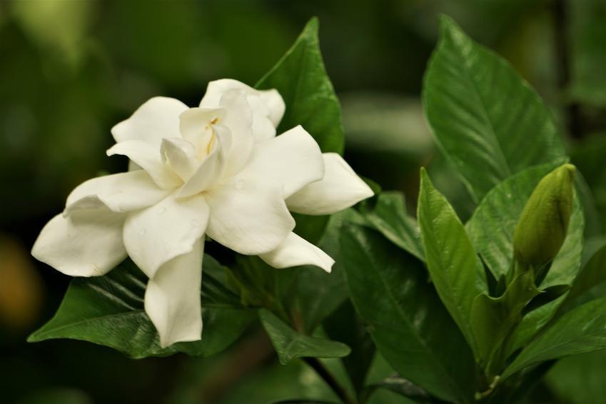 Gardenia jaśminowata i zbliżenie na jej kwiat, a także uprawa i pielęgnacja