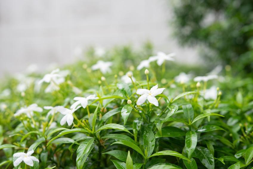 Kwiat gardenia jaśminowata w czasie kwitnienia w ogrodzie, a także jej uprawa i pielęgnacja