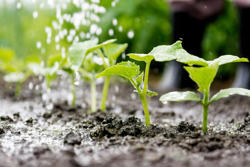 Młode sadzonki ogórków w ogrodzie, a także nasiona ogórków gruntowych, odmiany ogórków i ich ceny