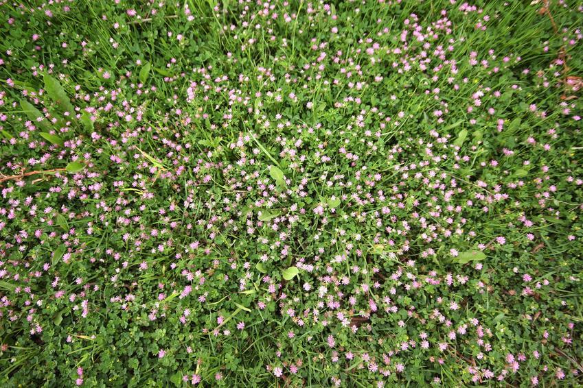 Koniczyna perska na polu, a także koniczyna biała i nasiona koniczyny perskiej