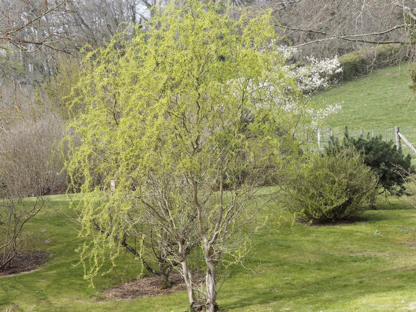 Duże drzewo wierzba mandżurska na tle zieleni, a także jej uprawa i choroby