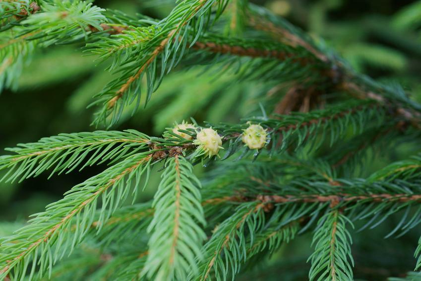 Gałęzie świerku, a także ochojnik świerkowiec, jego rozpoznawanie i zwalczanie