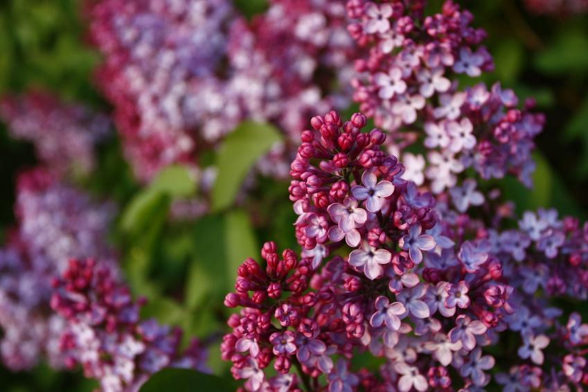 Kwitnący bez, a także lilak palibin, lilak mayera, lilak pospolity