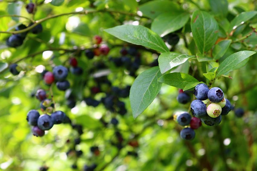 Krzew borówka kanadyjska w czasie owocowania, a także sadzonki i uprawa