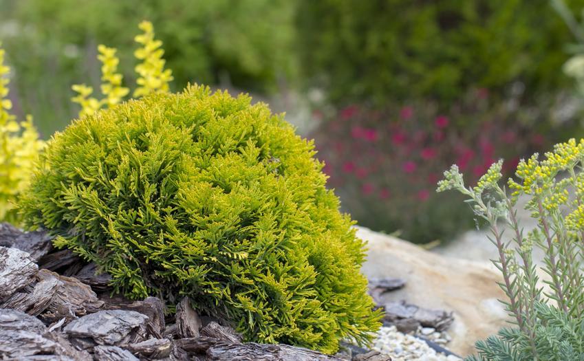Sadzonki tuji czy też sadzonki tui po posadzeniu, a także ich sadzenie
