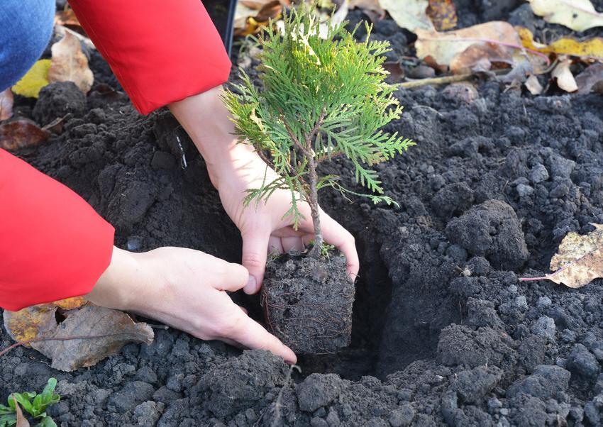 Sadzonki tuji czy też sadzonki tui podczas sadzenia, a także ich uprawa