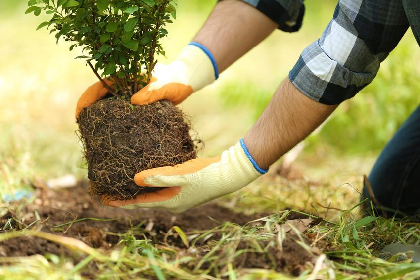 Sadzenie krzewu ozdobnego oraz sadzonki krzewów ozdobnych do ogrodu