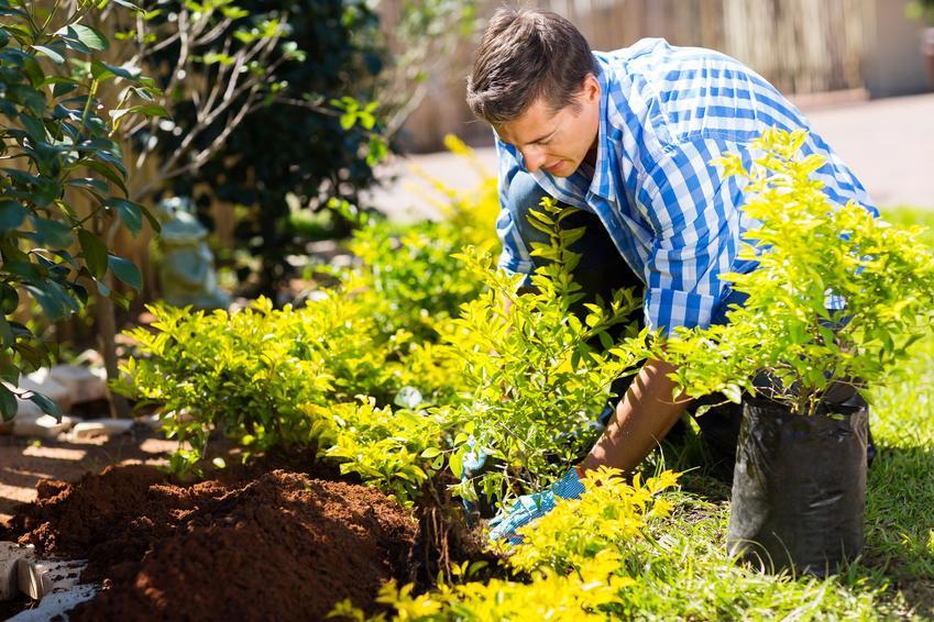 Sadzenie krzewów w ogrodzie, a także sadzonki krzewów ozdobnych