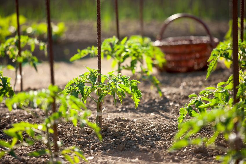 Posadzone pomidory oraz wysiew pomidorów, kiedy wysiewać pomidory, uprawa pomidorów z nasion