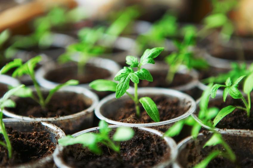 Wysiane pomidory, a także wysiew pomidorów, kiedy wysiewać pomidory, uprawa pomidorów z nasion