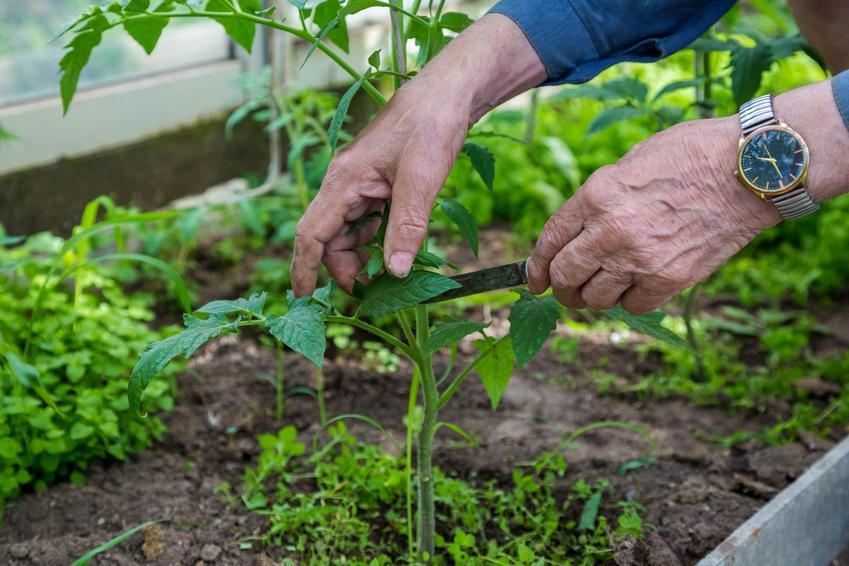 Przycinanie pomidorów w domowym ogródku oraz jak przycinać pomidory