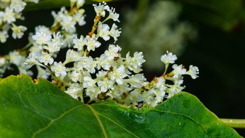 Rdestowiec sachaliński i zbliżenie na kwiat, a także rdest sachaliński i jego uprawa