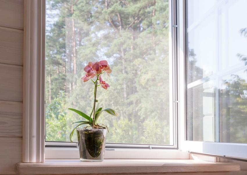 Storczyk w szkle na parapacie okna, czyli orchidea w szkle i uprawa storczyków w szkle