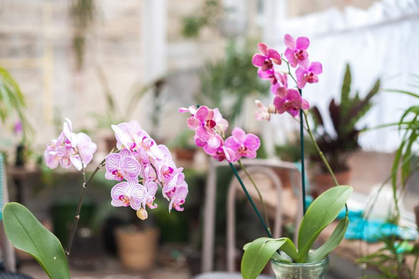 Storczyk w szklew czasie kwitnienia, czyli orchidea w szkle i uprawa storczyków w szkle