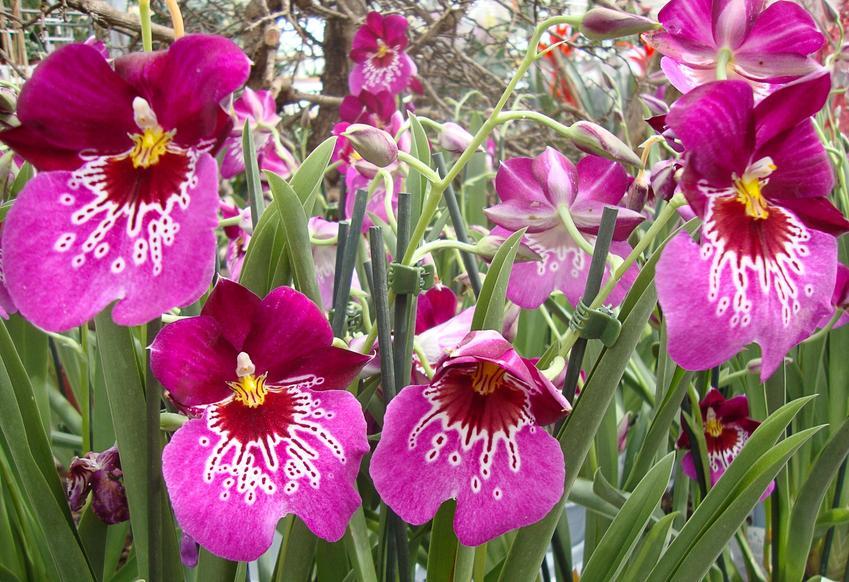 Storczyk Miltonia w czasie kwitnienia na różowo, a także jego uprawa i przesadzanie