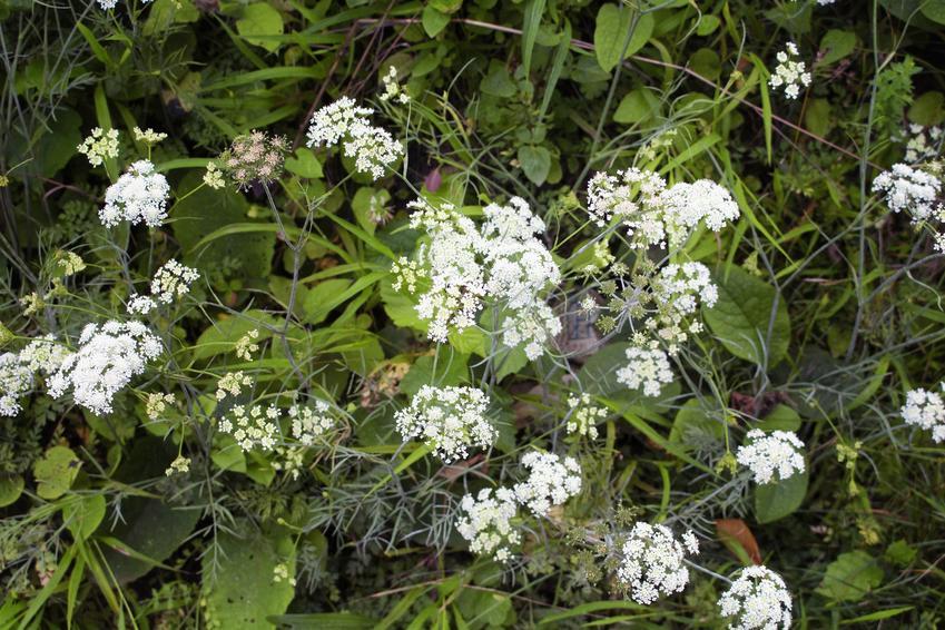 Biedrzeniec Pimpinella w czasie kwitnienia, a także jego zastosowanie i właściwości lecznicze