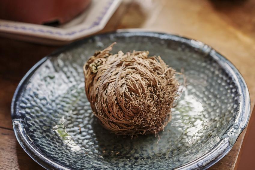 Widliczka Selaginella w postaci suszu, a także jej właściwości i zastosowanie