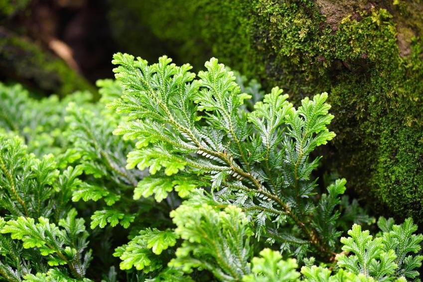 Widliczka Selaginella jako roślina ozdobna, a także je uprawa i pielęgnacja