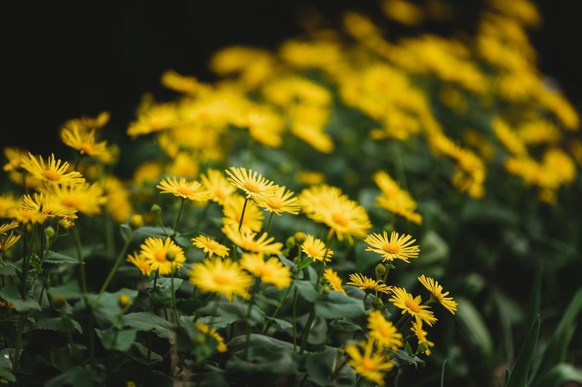 Kwiat omieg w czasie kwitnienia oraz inne żółte kwiaty ogrodowe i kwitnące na żółto