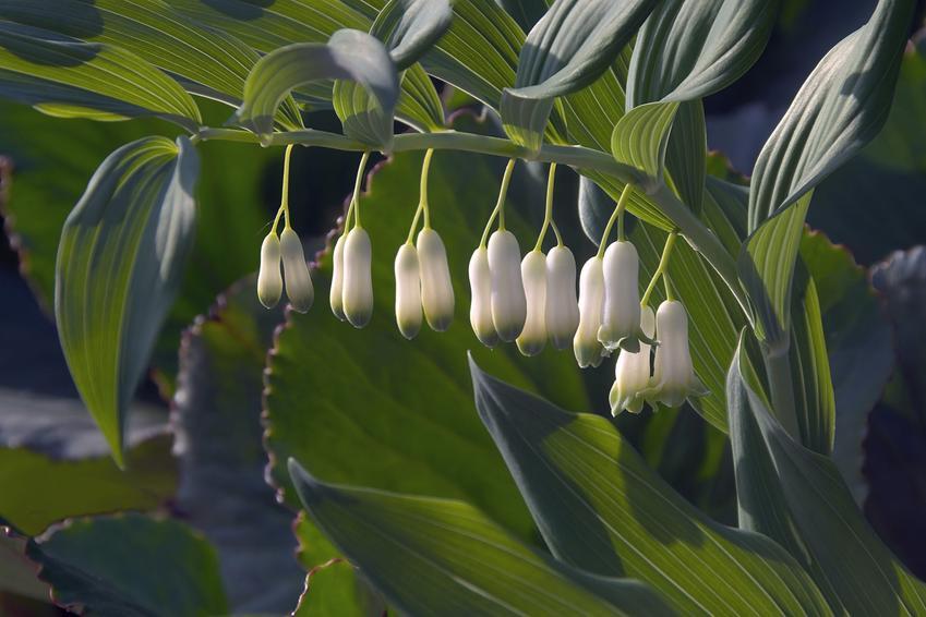 Kokoryczka, Polygonatum Mill i zbliżenie na kwiaty a także jej uprawa i pielęgnacja