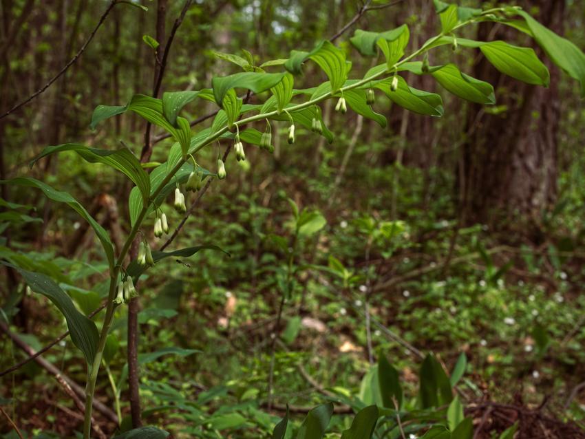 Kwiat kokoryczka, Polygonatum Mill w czasie kwitnienia oraz jej zastosowanie i sadzenie