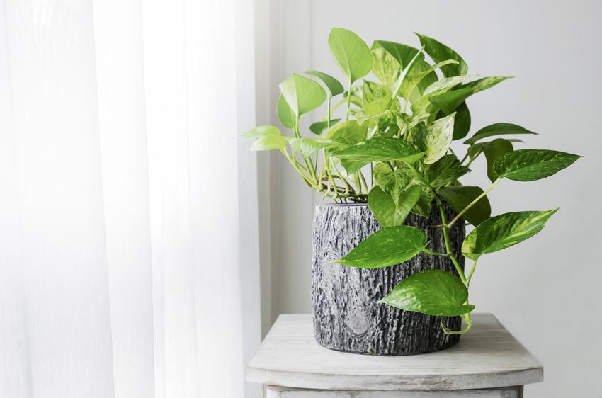 Kwiat epipremnum, Epipremnum Schott w domu w doniczce, a także jego wymagania i uprawa