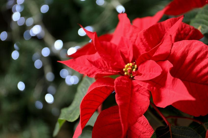 Poinsecja gwiazda betlejemska w czasie kwitnienia, czyli pielęgnacja Euphorbia pulcherrima