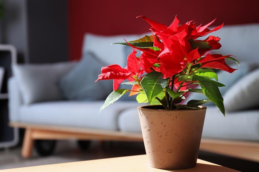Gwiazda betlejemska w doniczce w domu, a także poinsecja Euphorbia pulcherrima i jej uprawa