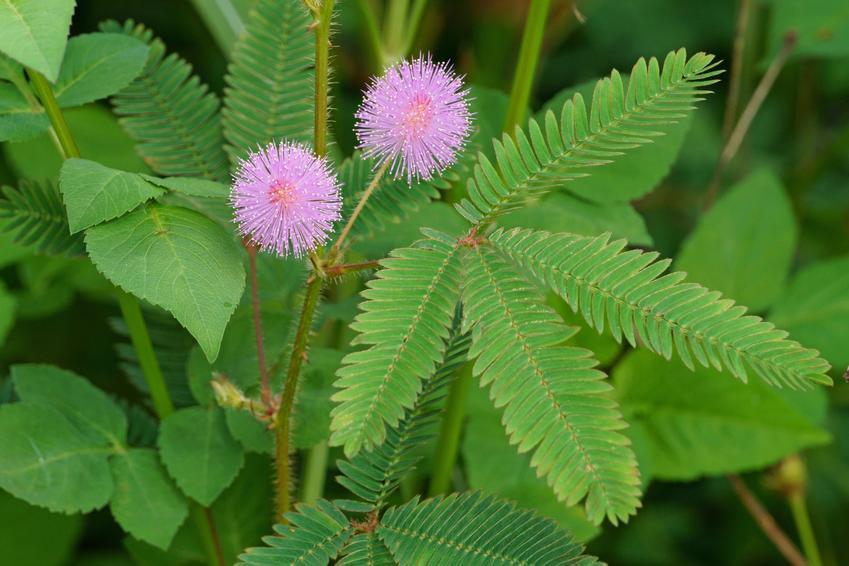 Kwiat mimoza wstydliwa, Mimosa pudica w czasie kwitnienia, a także jej uprawa