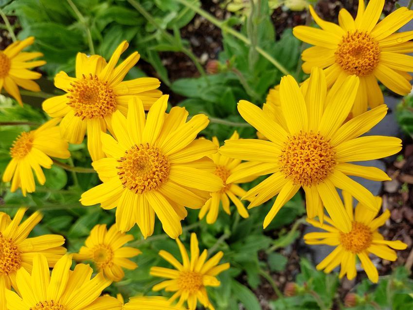 Kwiat arnika, Arnica, w czasie kwitnienia oraz właściwości, zastosowanie w medycynie