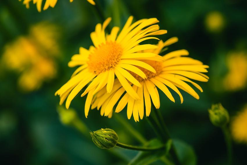 Arnika, Arnica i zbliżenie na kwiat, a także właściwości, zastosowanie w medycynie