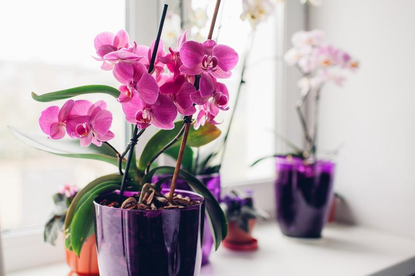 Różowy kwiat storczyk w domu na parapecie, a także ceny storczyków doniczkowych