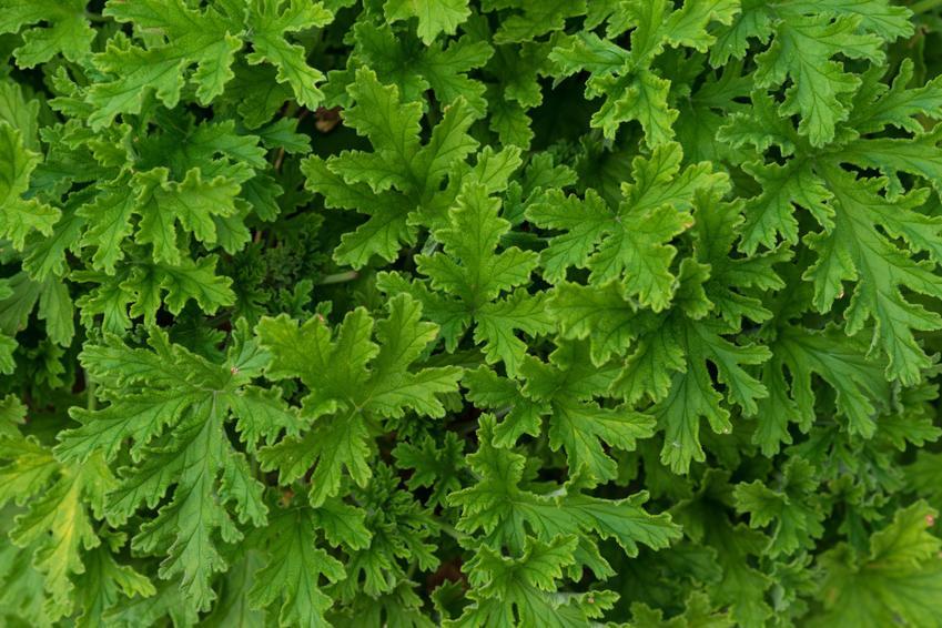 Rożlina lecznicza geranium z zielonymi liśćmi, a także pelargonia szorstka i jej zastosowanie