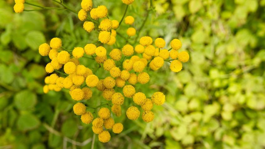 Wrotycz pospolity w czasie kwitnienia, a także ziele wrotyczu i wrotycz na pasożyty oraz zastosowanie