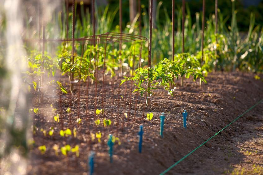 Pomidory w uprawie ogrodoej, a także nawóz do pomidorów, dobry nawóz pod pomidory