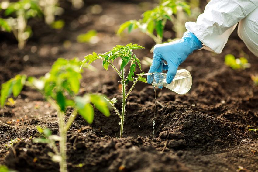 Nawożenie pomidorów w ogrodzie, a także nawóz do pomidorów, dobry nawóz pod pomidory