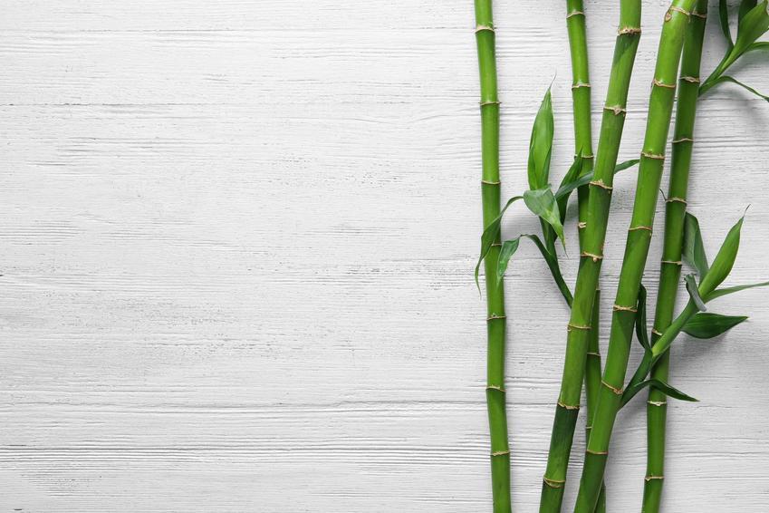 Bambus na jasnym tle, a także cena za sadzonki bambusa ogrodowego w sklepie internetowym i nie tylko