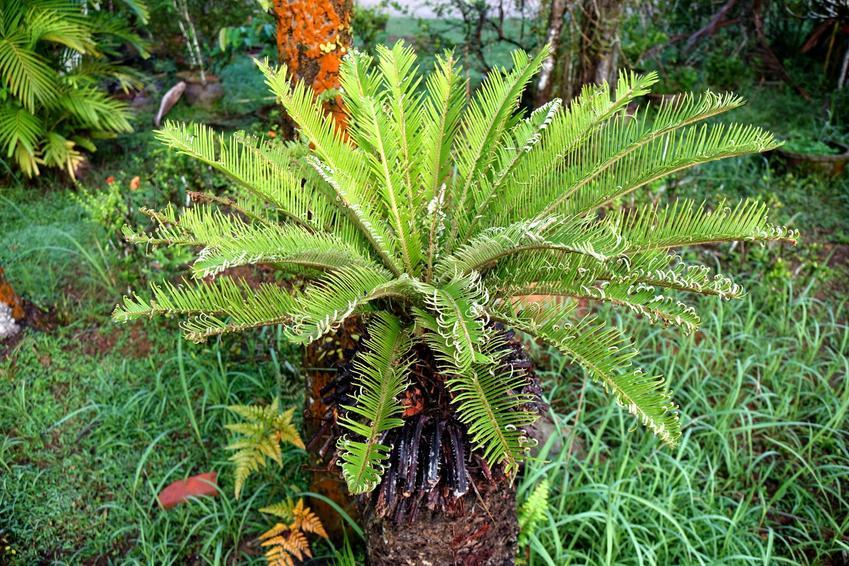 Sagowiec lub cykas Cycas revoluta w ogrodzie, a także jego uprawa i pielęgnacja