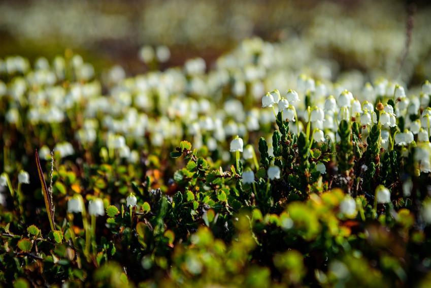 Kasjopeja widłakowata, Cassiope lycopodioides w czasie kwitnienia w ogrodzie oraz jej uprawa