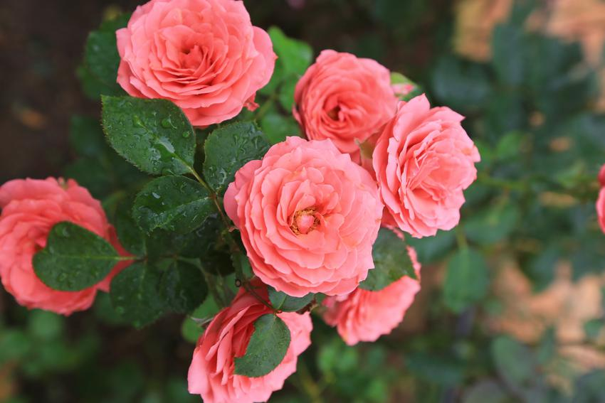 Kwiat róża eden, eden rose w czasie kwitnienia, czyli uprawa i pielęgnacja